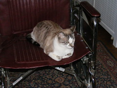 kitty on a wheelchair
