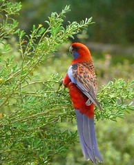 Crimson Rosella (dzittin) Tags: interestingness1 australia canberra friday seen feathery crimsonrosella platycercuselegans i500 aplusphoto brillianteyejewel