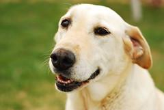 Abbey (gadgetbubba) Tags: dog cute yellow nose labrador yellowlab head greengrass
