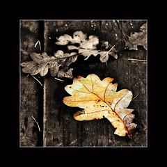 (pdisparu) Tags: camera autumn blackandwhite bw color nature colors contrast canon square eos 350d blackwhite interestingness belgium belgique noiretblanc belgi nb explore crop canon350d blacknwhite squarecrop noirblanc wallonie hainaut paturage negroblanco i500 blancoinegro colfontaine pdisparu fsameer