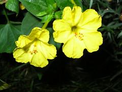 bright and yellow... (spisharam) Tags: flower yellow soe naturesfinest blueribbonwinner supershot anawesomeshot brillianteyejewel betterthangood malayalikoottam mirabalisjalapa