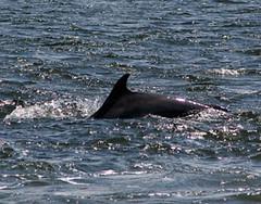 Moray Firth dolphin (lochnesslyn) Tags: scotland highlands dolphin wildlife sealife blackisle morayfirth bottlenosedolphins chanonrypoint