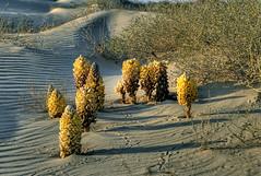 Bells desert (aZ-Saudi) Tags: flowers nature bells sand perfect photographer desert arabic oasis drought saudi arabia herb hdr ksa the alhasa طبيعة arabin goldstaraward ِarabs