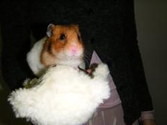 20080308 - 18 (kayako_) Tags: hamster pon