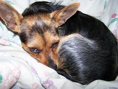 Random Dog Pix (bonkrood) Tags: jinx chorkie