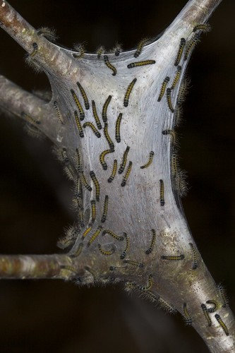 Eastern tent caterpillar (Malacosoma americanum) After Rain