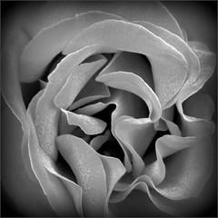 Holga-ish Rose