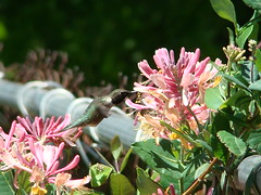 Honeysuckle Hummer III (SharedTomorrows Weddings & Photography) Tags: bird hummingbird honeysuckle