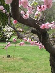 plum (mamako7070) Tags: spring plum ume plumblossom    bungoume