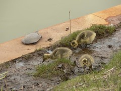 Goslings and Turtle