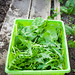 Mizuna and Baby leaf spinach, with a dressing of blood, sweat and tears