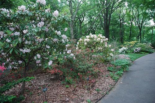 Rhododendrons and Azaleas, Osborne Garden, Brooklyn Botanic Garden