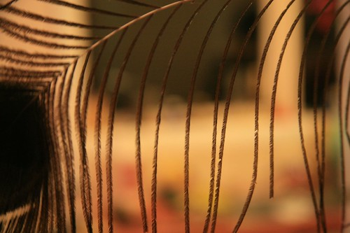 Strands of peacock feather