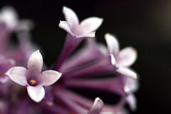 Lilac (vyxle) Tags: flowers flower dof purple bokeh explore lilacs lavendar explore3 explore13 impressedbeauty diamondclassphotographer naturecrap