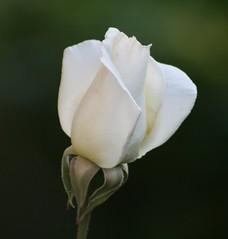 From My Garden (alasam) Tags: white flower rose mygarden pictureperfect mywinners naturethroughthelens hybredtea