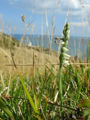 Autumn Lady's Tresses and Lighthouse