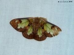 Carriola ecnomoda (LPJC) Tags: tabin sabah borneo malaysia 2016 lpjc moth carriolaecnomoda