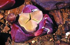 Didymaotus lapidiformis