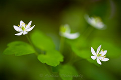 Rue Anemone (John Cothron) Tags: plants usa white plant flower nature petals tennessee pistil stamen bloom gatlinburg wildflower ranunculaceae seviercounty rueanemone thalictrumthalictroides buttercupfamily greatsmokymountainnationalpark covehardwoodtrail johncothron 2jtrip2009 cothronphotography