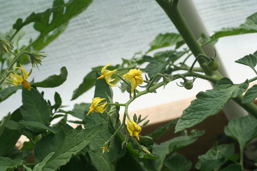 Tomato Flowers in my greenhouse