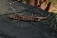 Viviparous lizard (Rolfen) Tags: dragon sweden lizard sverige common ödla lacerta lacertid vivipara viviparous nikond80 zootoca skogsödla nikkor1685mmvr ovovivipar