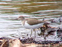 Common Sandpiper 1 (Graphic Stew) Tags: northumberland digiscoped commonsandpiper actitishypoleucos hauxley