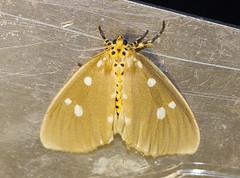 Tinolius hypsana (57Andrew) Tags: tinolius hypsana hkmoths chukyeungroad saikung april 2010 erebidae