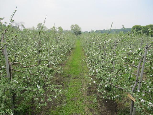 apple flower 3_20110520