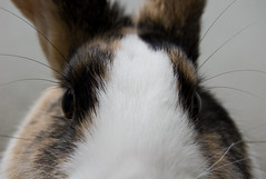 Mikkos Eyes (Alastair Cummins) Tags: pet rabbit bunny poser cleaning toungue bun mikko