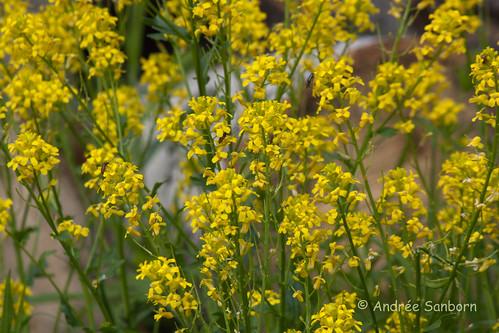 Common winter cress (yellow rocket) (Barbarea vulgaris)-5.jpg