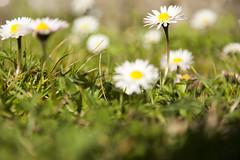 prato erboso #2 (chiara127) Tags: primavera erba fiori prato marzo giardino 2014 margherite