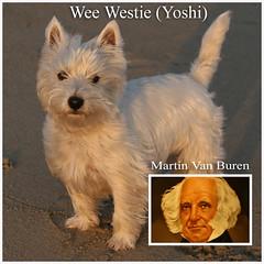 Wee Westie Look Alike