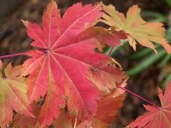 Season changing Japanese Maple leaf w/spider (Bionic Rhonda, back slowly) Tags: dahlia spider ants aftertherain myyard naturesfinest mapleleave