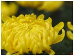 Chrysanthemum 071029 #03