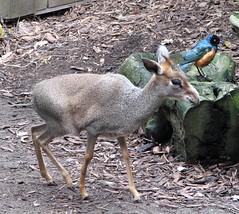Guenther's Dik-Dik (Just chaos) Tags: africa mammal small antelope bovidae animalia mammalia sanfranciscozoo dikdik chordata eventoedungulate artiodactyla madoquaguentheri pseudoclaws elongatedproboscis