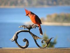 wind swept card (Lollie Dot Com) Tags: red bird cardinal hey card malecardinal heyhey naturesfinest redcardinal lolliedotcompix mywinners heyquitpushinme p1340543c