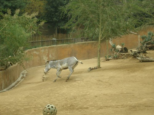 Zebra.  Moving.