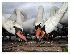 Swans 02 (Recycled Teenager (NORFOLK IMAGES)) Tags: white nature water birds closeup thames river reading swan feeding swans berkshire riverthames caversham goldstaraward