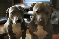 Annabell and Duke (taija lynn) Tags: blue dog puppy twins pitbull bluenose apbt