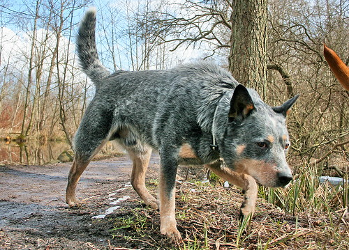 Australian Cattle Dog, Blue heeler - IMG_9119a