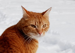 The look (Miss Claeson) Tags: winter pet snow cat easter ginger nikon sweden dalar nikond80 bestofcats