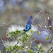 Adult breeding plumage Purple Sunbird (Nectarinia asiatica)
