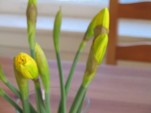 Daffodils in Bud