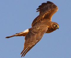 I'm keeping an eye on you. (nrmorris9) Tags: eye hawk flight nj somerset raptor somersetcounty griggstown franklintownship avianexcellence griggstownnativegrasslandpreserve