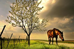 dappled blossoming light (Dan65) Tags: light horse tree grass bay vineyard spring blossom 4 vine explore grazing thoroughbred graze karakum diamondclassphotographer