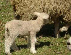bandit's lamb 004
