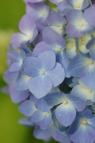 Hydrangea - May 30