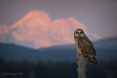 Short - eared Owl (Peter Bangayan) Tags: