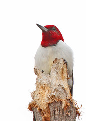 Red-headed Woodpecker (hennessy.barb) Tags: woodpecker redheadedwoodpecker melanerpeserythrocephalus perched watchful bird red