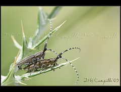 Agapanthia villosoviridescens (2_photos) (by Cristal Oscurotream)